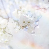 Apple Blossoms 04 Fine-Art Print