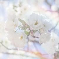Apple Blossoms 05 Fine-Art Print