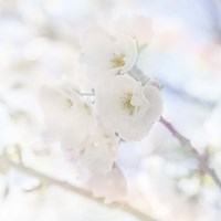 Apple Blossoms 06 Fine-Art Print