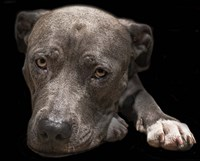 Pit Bull Terrier Fine-Art Print