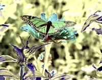 Green Monarch Fine-Art Print