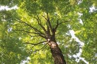 Hardwood Forest Canopy V Fine-Art Print