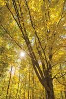 Autumn Foliage Sunburst II Fine-Art Print