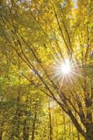 Autumn Foliage Sunburst I Fine-Art Print