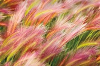 Foxtail Barley I Fine-Art Print