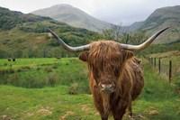 Scottish Highland Cattle III Fine-Art Print