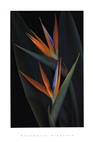 Bird of Paradise Fine-Art Print