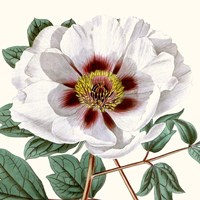 Cropped Antique Botanical II Fine-Art Print