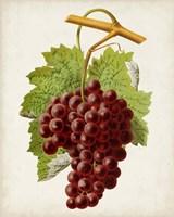Antique Fruit III Fine-Art Print