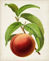 Antique Fruit V Fine-Art Print