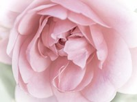 Pretty Pink Blooms II Fine-Art Print