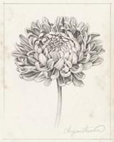 Graphite Chrysanthemum Study II Fine-Art Print