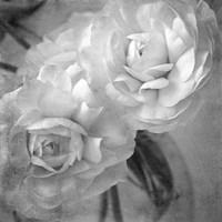 Dark Ranunculus I Fine-Art Print