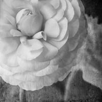 Dark Ranunculus II Fine-Art Print