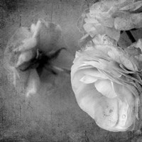 Dark Ranunculus III Fine-Art Print
