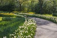 Sunlit Path In Daffodil Garden Fine-Art Print
