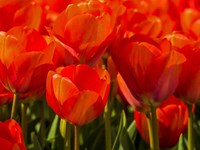 Red Tulips In Mass, Nord Holland, Netherlands Fine-Art Print