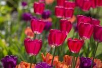Bright Spring Tulips 1 Fine-Art Print