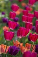 Bright Spring Tulips 2 Fine-Art Print