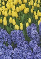 Hyacinth And Yellow Tulips In Garden, Las Vegas Fine-Art Print