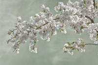 Cherry Tree Blossoms In Spring, Seabeck, Washington State Fine-Art Print