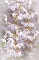 Cherry Tree Blossoms Close-Up, Seabeck, Washington State Fine-Art Print