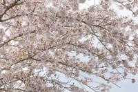 Cherry Tree Blossoms, Washington State Fine-Art Print