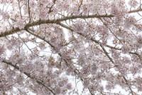 Cherry Tree Blossoms, Seabeck, Washington State Fine-Art Print