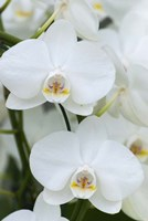 White Orchid Blooms Fine-Art Print