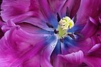 Tulip Closeup, Keukenhof Gardens, Lisse, Netherlands, Holland Fine-Art Print