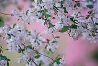 Weeping Cherry Tree Blossoms, Louisville, Kentucky Fine-Art Print