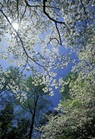 White Flowering Dogwood Trees in Bloom, Kentucky Fine-Art Print