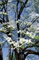 USA, Tennessee, Nashville Flowering dogwood tree at The Hermitage Fine-Art Print