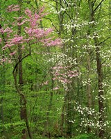 Eastern Redbud and Flowering Dogwood, Arlington County, Virginia Fine-Art Print