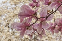 Yulan Magnolia Blossoms, Louisville, Kentucky Fine-Art Print