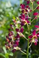Jenny's Orchid Garden 2, Darwin, Australia Fine-Art Print