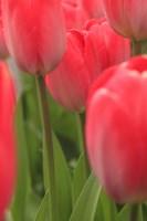 Tulips In A Garden 1, Victoria, Canada Fine-Art Print