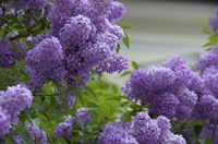 Lilacs In Bloom, Salzburg, Austria Fine-Art Print