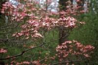 Pink Dogwood Blooms Fine-Art Print