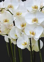 White Orchid Blooms 1 Fine-Art Print