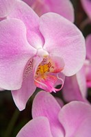 A Pink Orchid In The Phalaenopsis Family, San Francisco Fine-Art Print