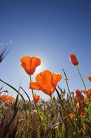 Poppies With Sun And Blue Sky, Antelope Valley, CA Fine-Art Print