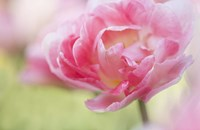 Pink Double Tulip Flower, Pennsylvania Fine-Art Print