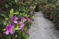 Rhododendron Along Pathway, Magnolia Plantation, Charleston, South Carolina Fine-Art Print
