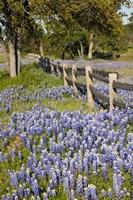 Lone Oak Tree Along Fenceline With Spring Bluebonnets, Texas Fine-Art Print