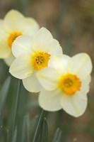 Closeup Of White Daffodils, Arlington, Virginia Fine-Art Print