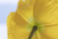Underside Of Poppy Flower, Seabeck, Washington State Fine-Art Print