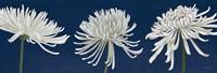 Morning Chrysanthemums V Dark Blue Fine-Art Print