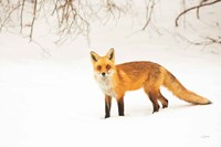 Red Fox IV Fine-Art Print