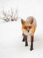 Red Fox III Fine-Art Print